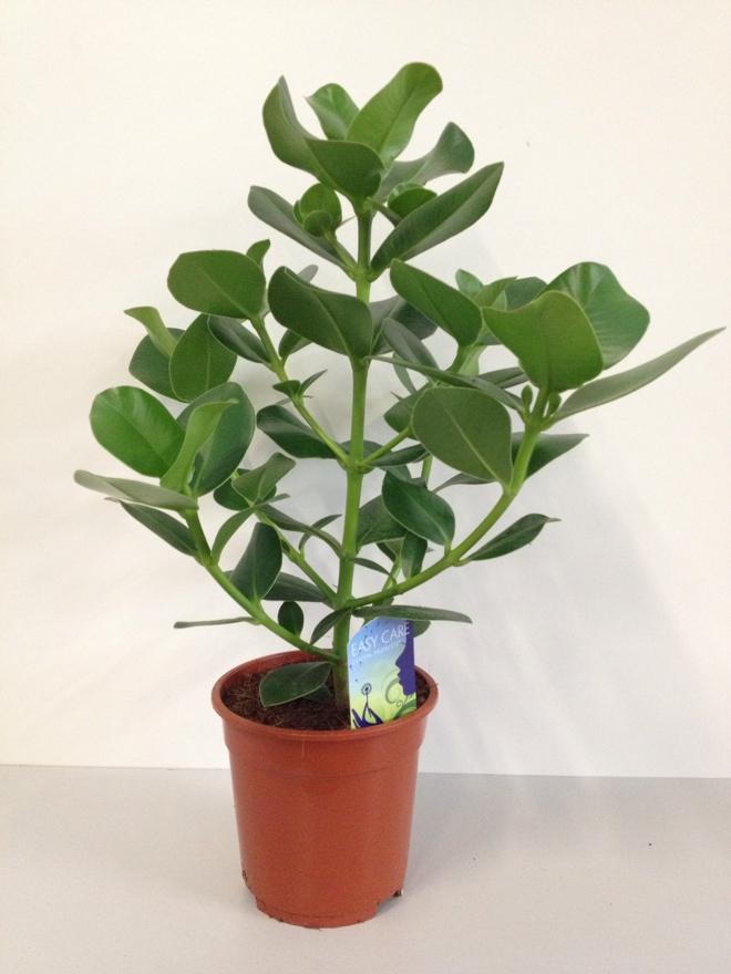 Detailansicht zimmerpflanzen for Zimmerpflanzen shop